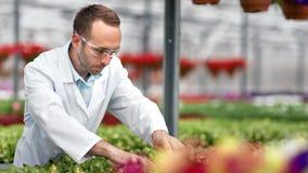 Piantina bagnata della pianta dell'ingegnere agricolo maschio che fa scienza che ricerca al laboratorio della serra archivi video