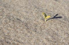 Piantina che coltiva fuori la sabbia della spiaggia fotografie stock libere da diritti