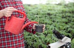 Piantina d'innaffiatura del pomodoro della donna dell'agricoltore in serra Fotografia Stock Libera da Diritti