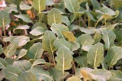 Piantina dei broccoli Vendita delle piante della casa Immagini Stock Libere da Diritti