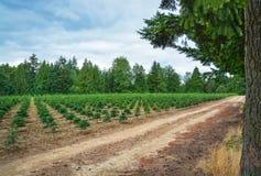 Piantina dei pini sull'azienda agricola di albero Immagine Stock Libera da Diritti