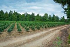 Piantina dei pini sull'azienda agricola di albero per il rimboschimento immagine stock