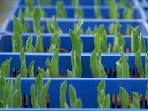 Piantina dei tulipani - commercio nel settore agricolo fotografie stock libere da diritti