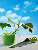 Piantina del cetriolo in vaso Fotografia Stock