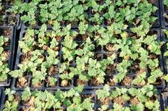 Piantina del crisantemo Fotografia Stock Libera da Diritti