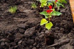 Piantina del fiore per la piantatura nella terra fotografie stock