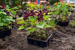 Piantina del fiore per la piantatura nella terra fotografia stock libera da diritti
