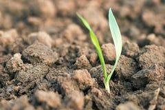 Piantina del grano primaverile Concetto di sviluppo Fotografie Stock