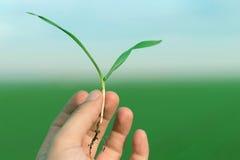 Piantina del grano primaverile della tenuta della mano Concetto di sviluppo Immagine Stock Libera da Diritti