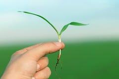 Piantina del grano sulla mano Piantina del grano primaverile Concep di crescita Fotografia Stock Libera da Diritti