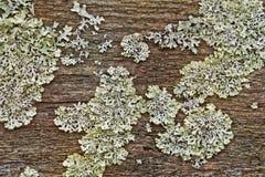 Piantina del lichene su un bordo umido dopo una pioggia fotografie stock