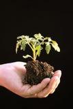 Piantina del pomodoro in mano a coppa prima della piantatura Fotografie Stock Libere da Diritti
