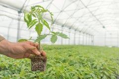 Piantina del pomodoro nella mano di agricoltura, con la radice visibile Fotografia Stock Libera da Diritti