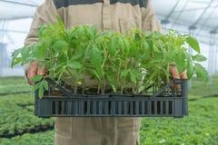Piantina del pomodoro nella mano di agricoltura, con la radice visibile Immagine Stock Libera da Diritti