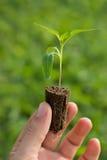 Piantina del pomodoro nelle mani di giardinaggio organico di agricoltura Fotografia Stock