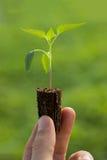 Piantina del pomodoro nelle mani di giardinaggio organico di agricoltura Immagine Stock