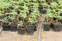 Piantina del pomodoro prima della piantatura nel suolo, Immagini Stock