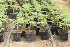 Piantina del pomodoro prima della piantatura nel suolo, Fotografia Stock