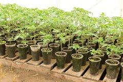 Piantina del pomodoro prima della piantatura nel suolo, Immagine Stock Libera da Diritti
