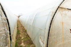 Piantina del pomodoro prima della piantatura nel suolo, Fotografia Stock Libera da Diritti