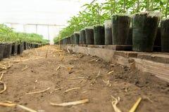 Piantina del pomodoro prima della piantatura nel suolo, Immagine Stock