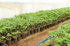 Piantina del pomodoro prima della piantatura nel suolo, Fotografie Stock Libere da Diritti
