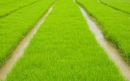 Piantina del riso Immagini Stock