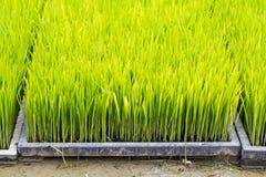 Piantina del riso Immagine Stock