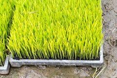 Piantina del riso Fotografie Stock