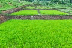 Piantina del riso nel warter al campo Fotografia Stock