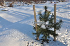 Piantina dell'albero di Natale immagini stock libere da diritti