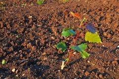 Piantina dell'albero di pioppo, agricoltura Fotografie Stock