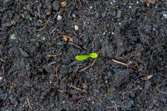 Piantina della calendula, mostrante le foglie verdi che crescono dal suolo scuro della composta nel tempo di primavera, in un gia immagini stock libere da diritti