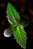 Piantina della cannabis - inoltre conosciuta come la pianta di marijuana immagini stock libere da diritti