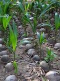 Piantina della noce di cocco Immagini Stock Libere da Diritti