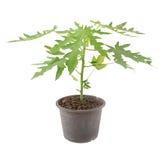 Piantina della papaia in vaso isolato su bianco Fotografia Stock