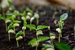 Piantina della pianta Immagini Stock