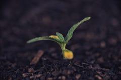Piantina della pianta di marijuana che cresce dal suolo Fotografie Stock Libere da Diritti