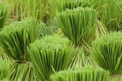 Piantina della pianta di riso Fotografia Stock