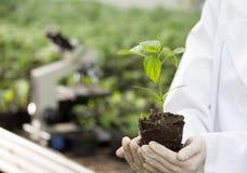 Piantina della tenuta dell'agronomo in mani in serra Immagini Stock Libere da Diritti