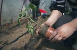 Piantina di trapianto del pomodoro dell'agricoltore in serra Immagini Stock Libere da Diritti