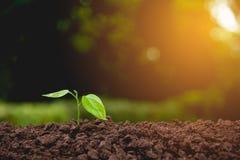 Piantina e pianta che crescono nel suolo sulla natura Fotografia Stock Libera da Diritti