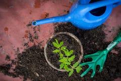 Piantina fresca in un vaso, concetto nostrano del pomodoro delle verdure immagine stock libera da diritti