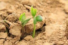Piantina leguminosa di botanica nel campo Immagini Stock Libere da Diritti