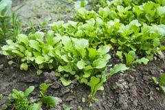 Piantina organica del ravanello che cresce nell'orto Immagine Stock