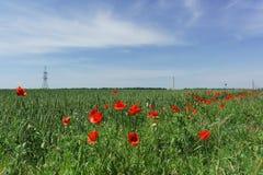 Piantina rossa del papavero, o lat del campo Rhoeas del papavero sull'orlo del campo con il lat del frumento autunnale Triticum Fotografie Stock Libere da Diritti