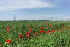 Piantina rossa del papavero, o lat del campo Rhoeas del papavero sull'orlo del campo con il lat del frumento autunnale Triticum s Immagine Stock Libera da Diritti