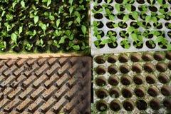Piantina, vassoio e strumento per la piantatura del cavolo in serra nel Vietnam Fotografia Stock