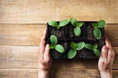Piantina verde in vasi e mano degli uomini su fondo di legno Tema di ecologia fotografia stock libera da diritti