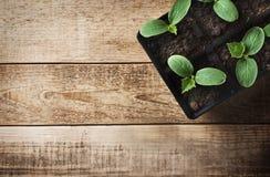 Piantina verde in vasi su fondo di legno Tema di ecologia immagine stock libera da diritti